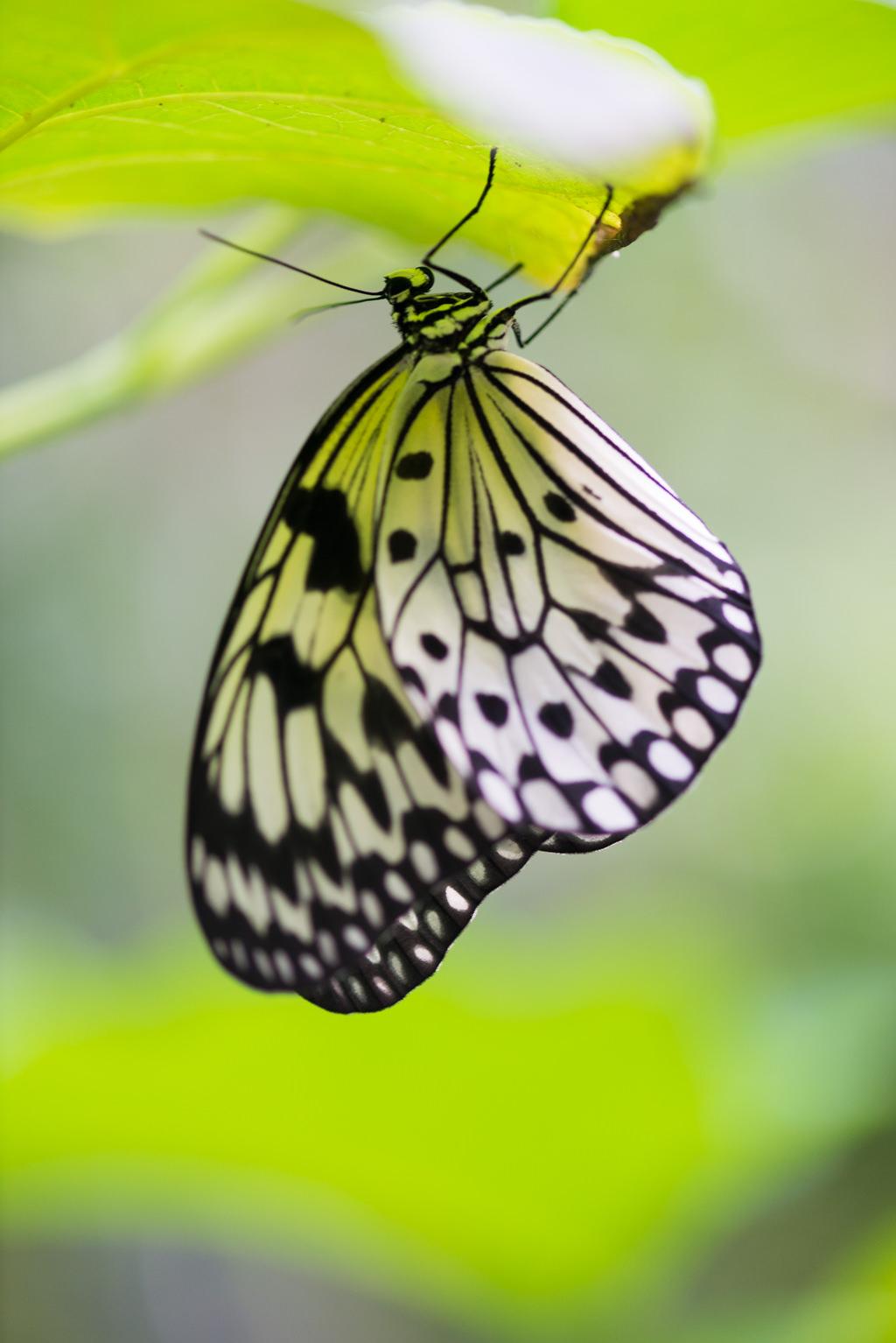 Großartig Wie Man Einen Schmetterling Einfärbt Bilder - Beispiel ...